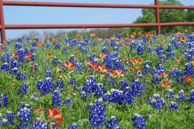 texas_bluebonnets